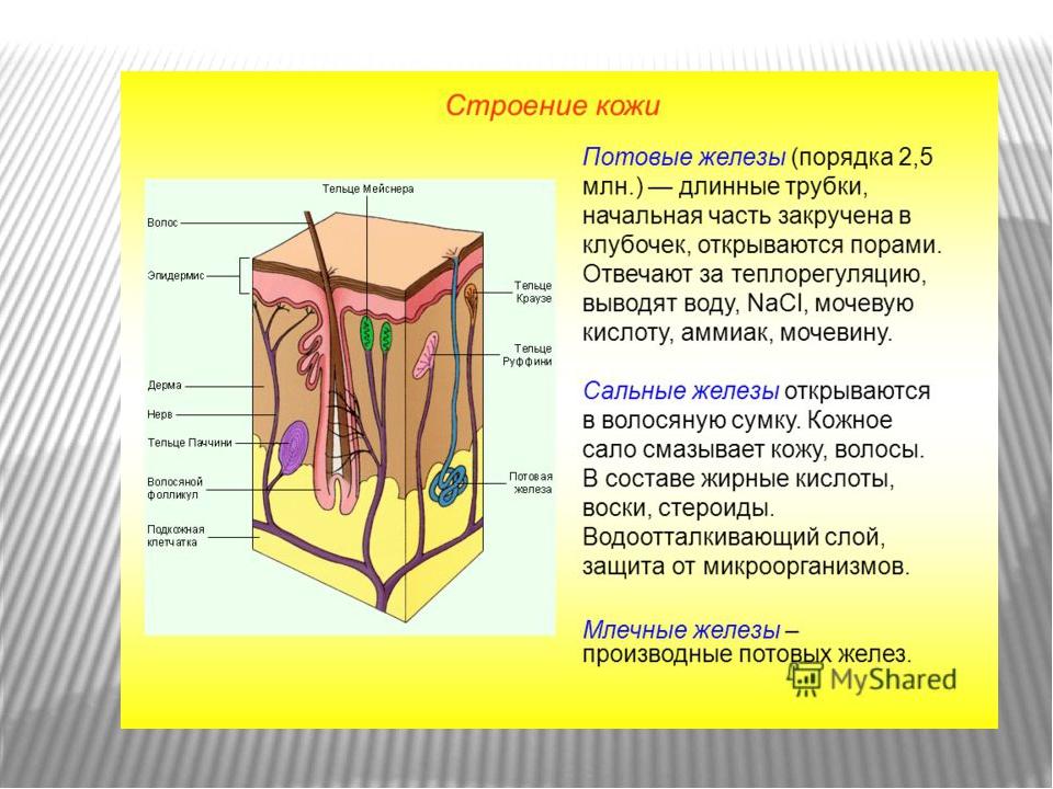 Функции кожи - защитная (барьерная); - терморегуляторная; - участие в водно-с...