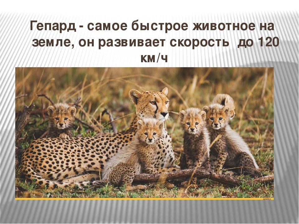 Гепард - самое быстрое животное на земле, он развивает скорость до 120 км/ч