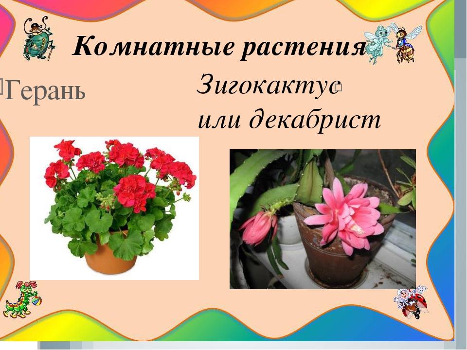 Герань Зигокактус или декабрист Комнатные растения