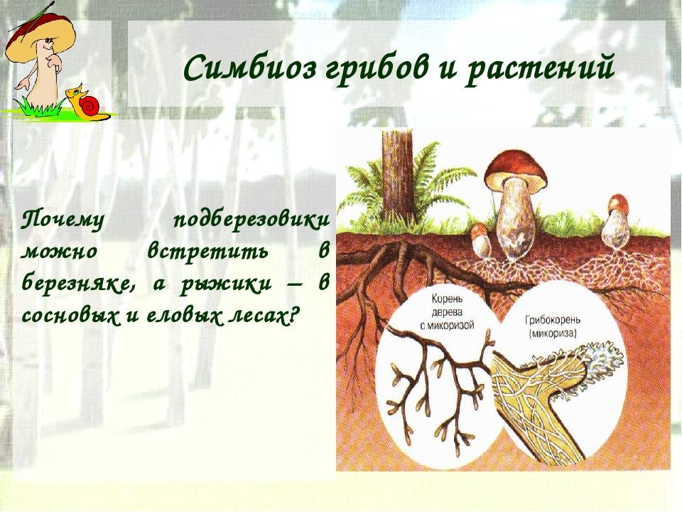 Симбиоз грибов и растений Почему подберезовики можно встретить в березняке, а...