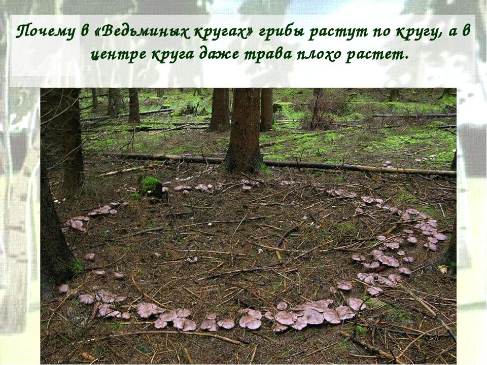 Почему в «Ведьминых кругах» грибы растут по кругу, а в центре круга даже трав...