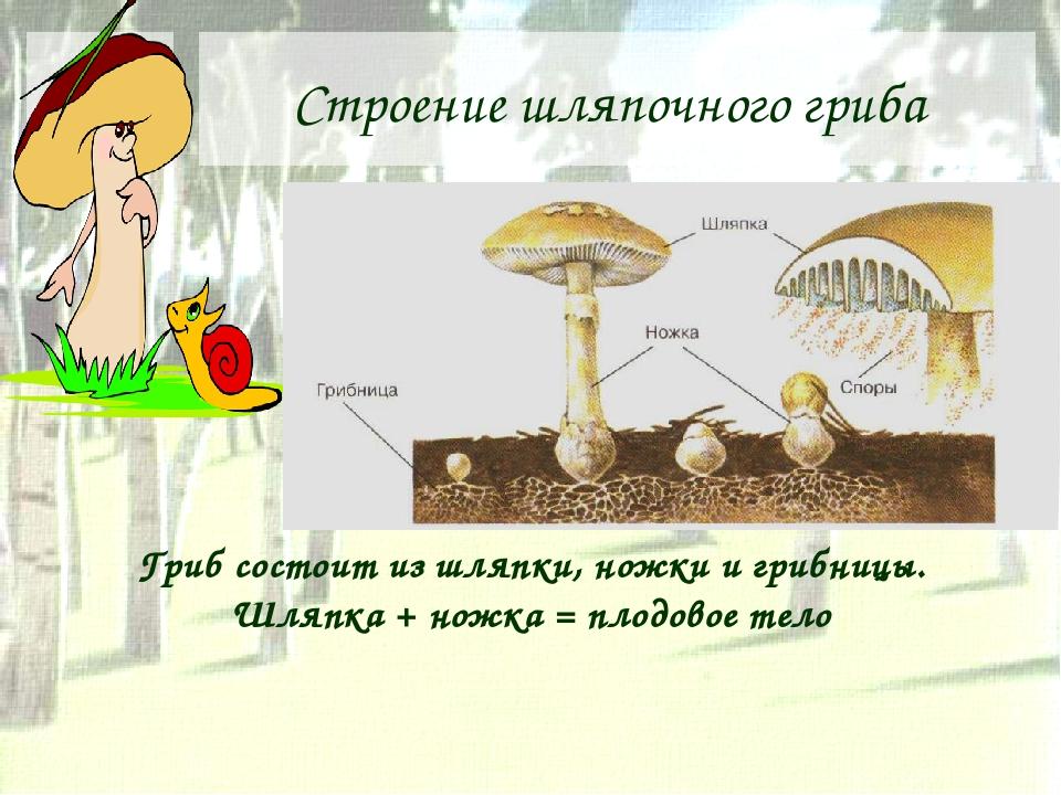 Строение шляпочного гриба Гриб состоит из шляпки, ножки и грибницы. Шляпка +...