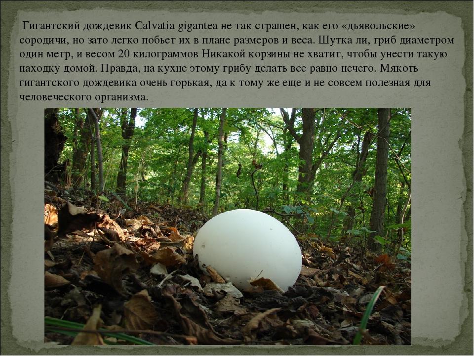 Гигантский дождевик Calvatia gigantea не так страшен, как его «дьявольские»...