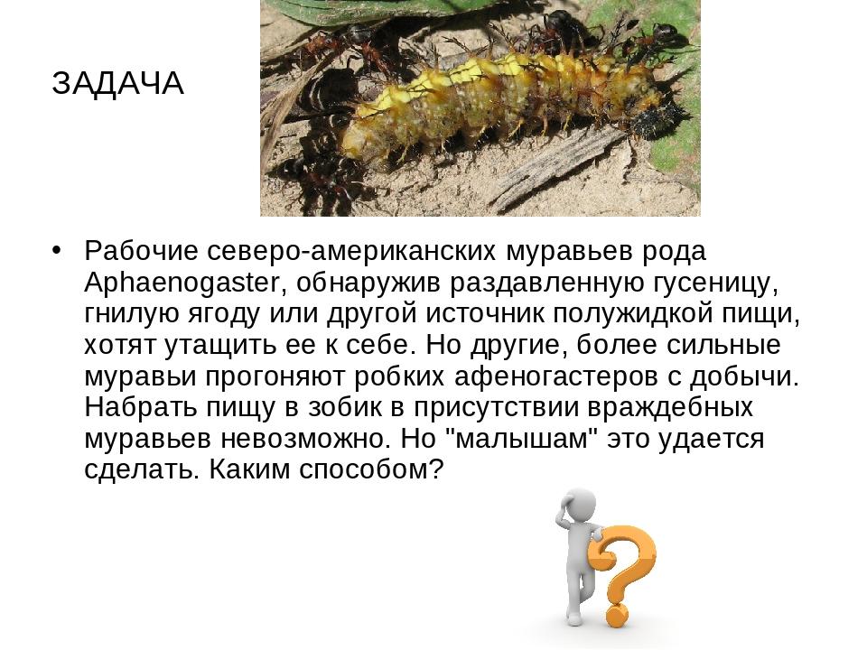 ЗАДАЧА Рабочие северо-американских муравьев рода Aphaenogaster, обнаружив раз...