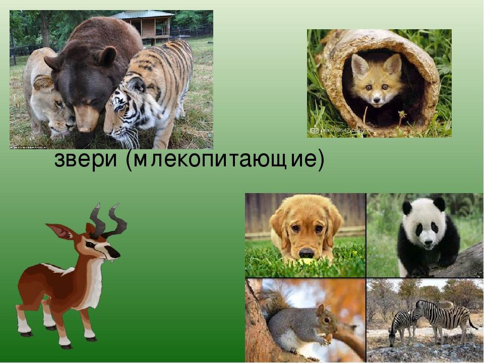 звери (млекопитающие)