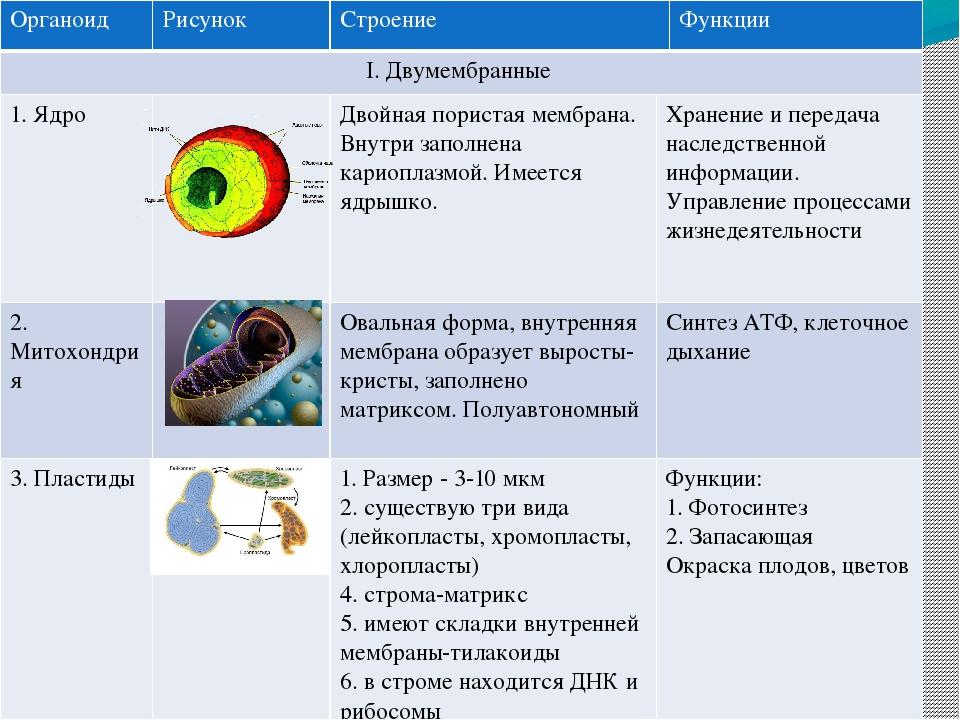 Органоиды таблица рисунок