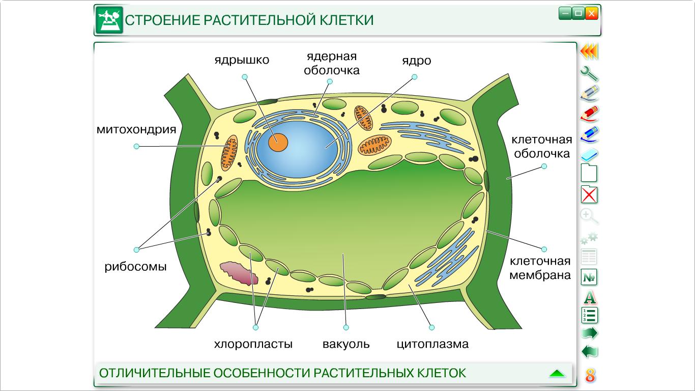 Картинка строения растительной клетки