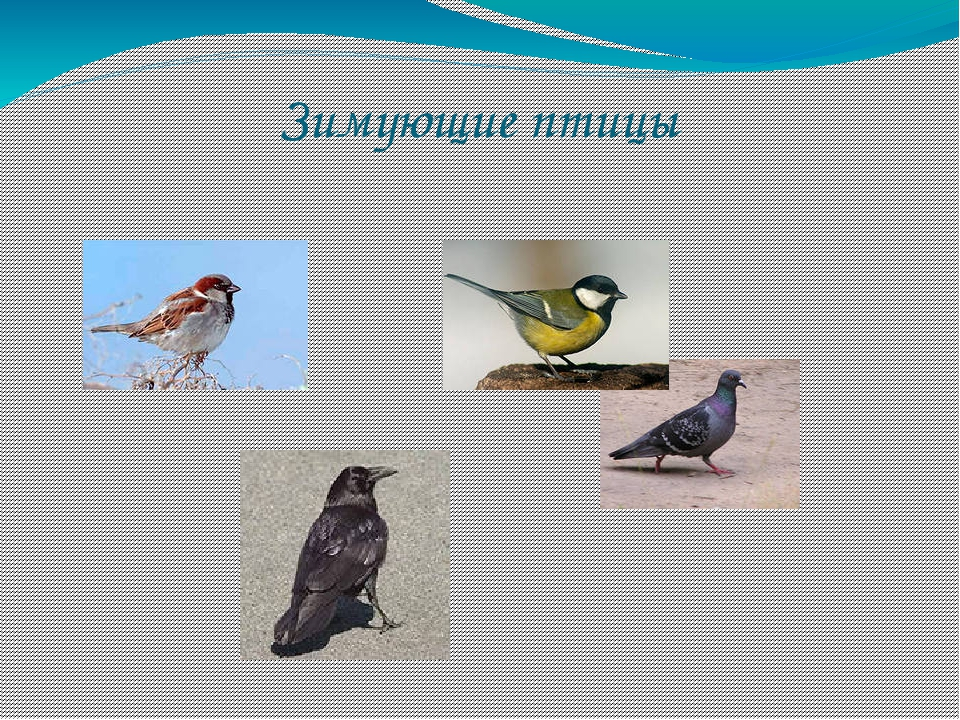 видами зимующих птиц знакомство с