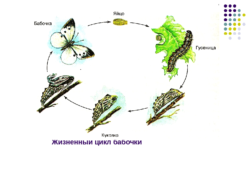 Жизненный цикл бабочки картинка