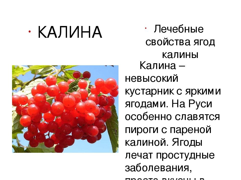 Калина красная ягода полезные свойства лечебные свойства