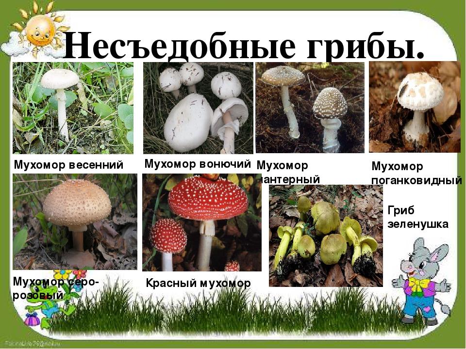 Какие грибы несъедобные фото с названиями отличаются способностью