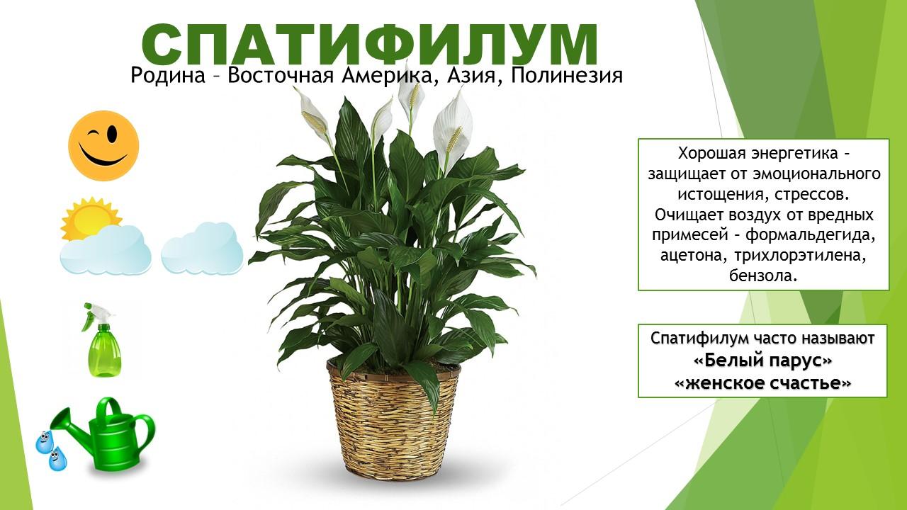 комнатные растения для старшей группы картинки локоны
