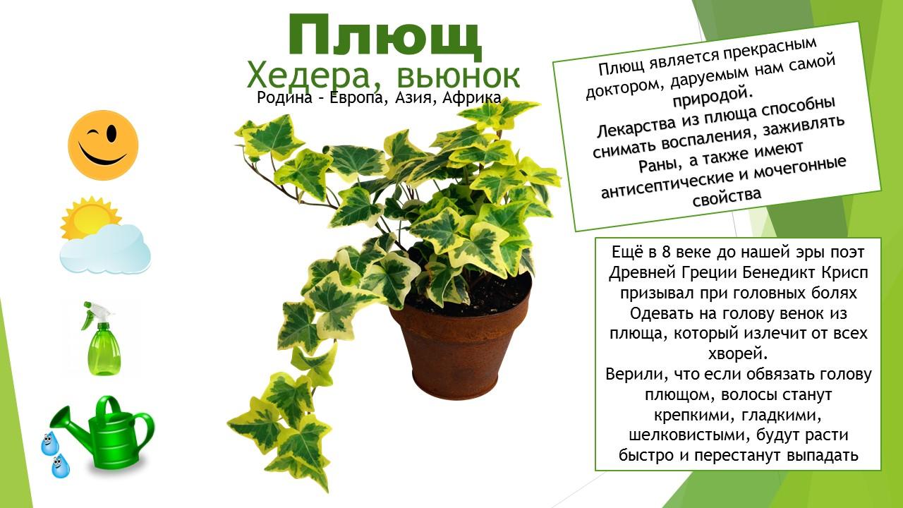 Комнатные растения для старшей группы картинки
