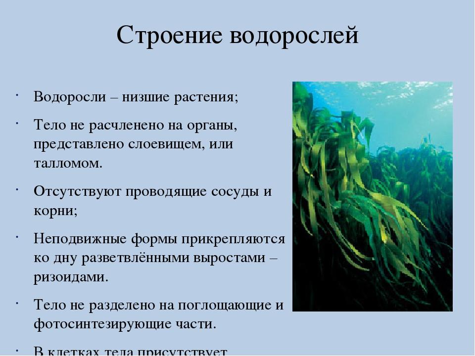 Названия картинки и описания всех водорослей