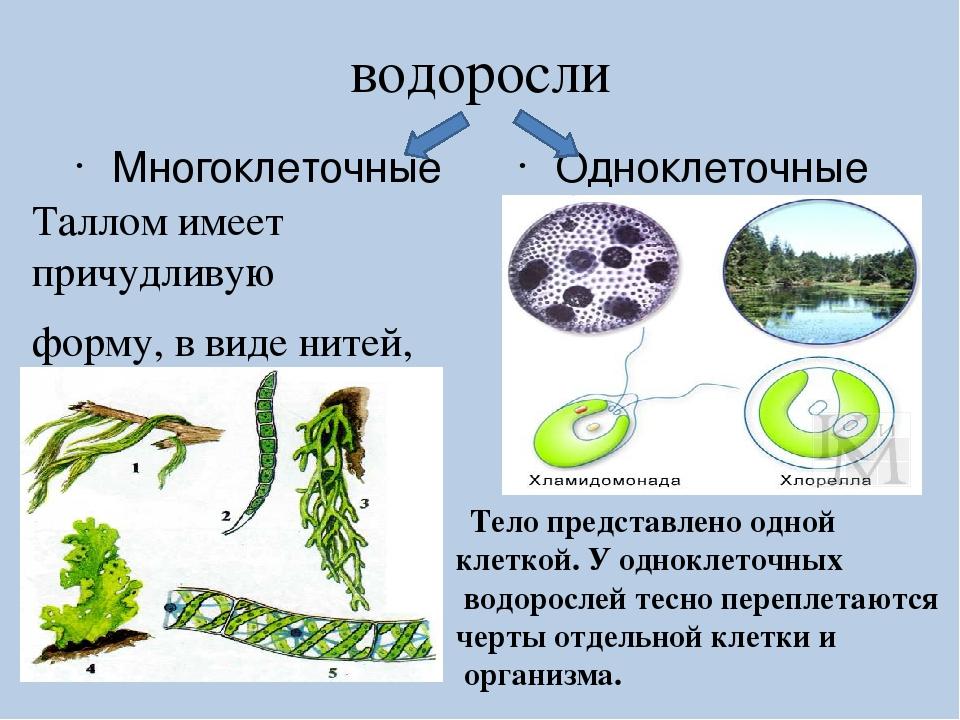 Картинки водоросли одноклеточные или