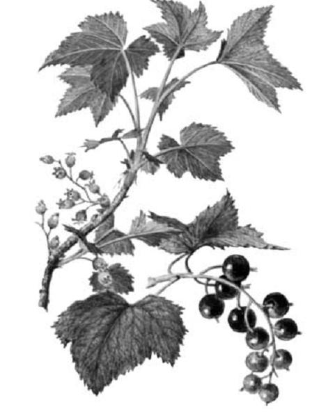 Кустарник черная смородина картинка для детей