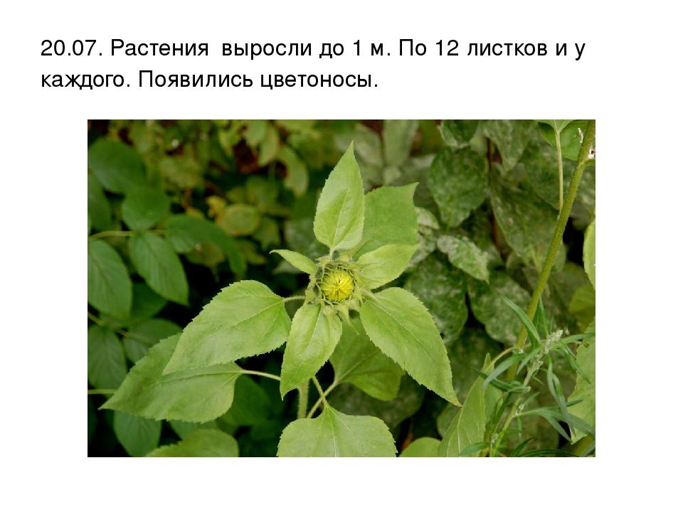 20.07. Растения выросли до 1 м. По 12 листков и у каждого. Появились цветоносы.