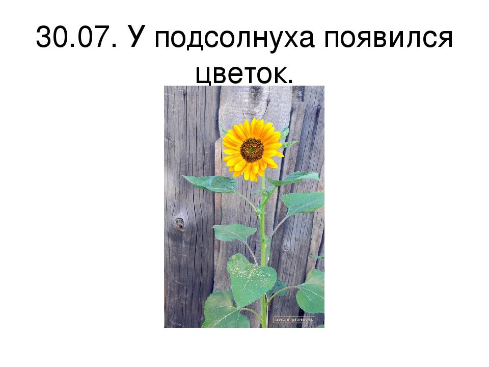 30.07. У подсолнуха появился цветок.