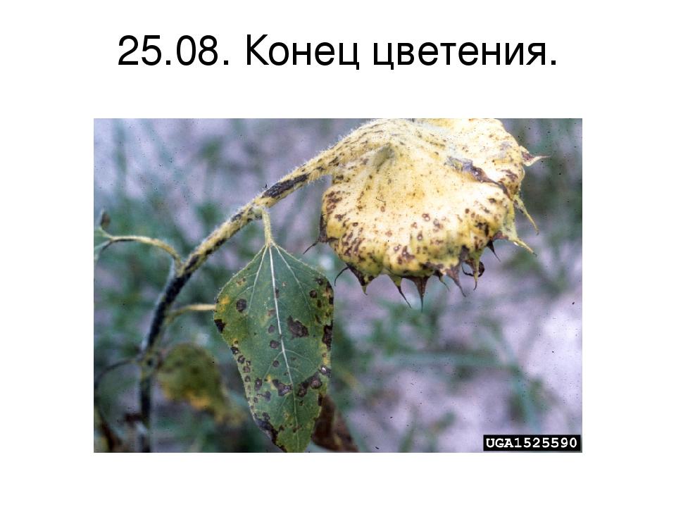 25.08. Конец цветения.