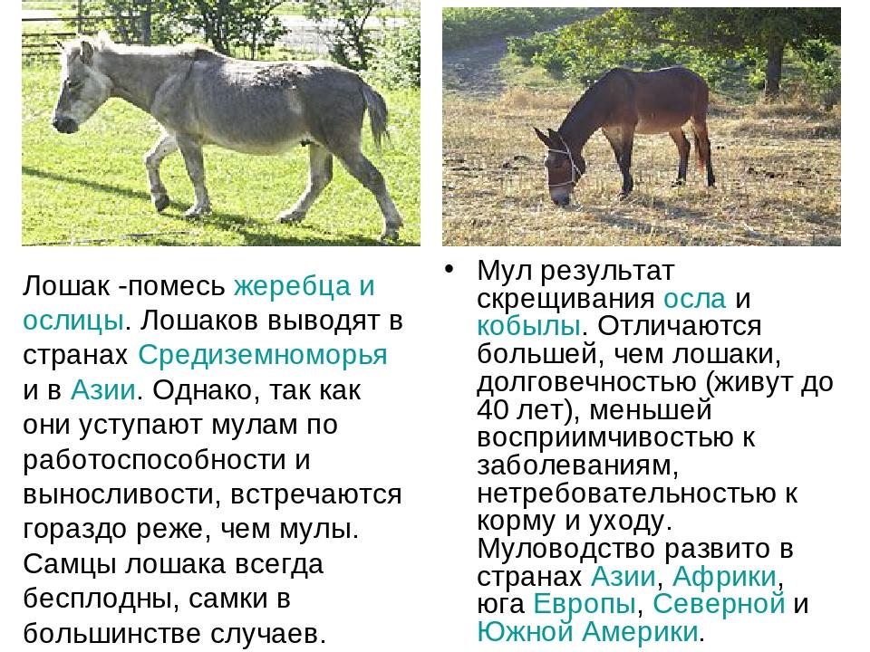 Мул результат скрещивания осла и кобылы. Отличаются большей, чем лошаки, долг...