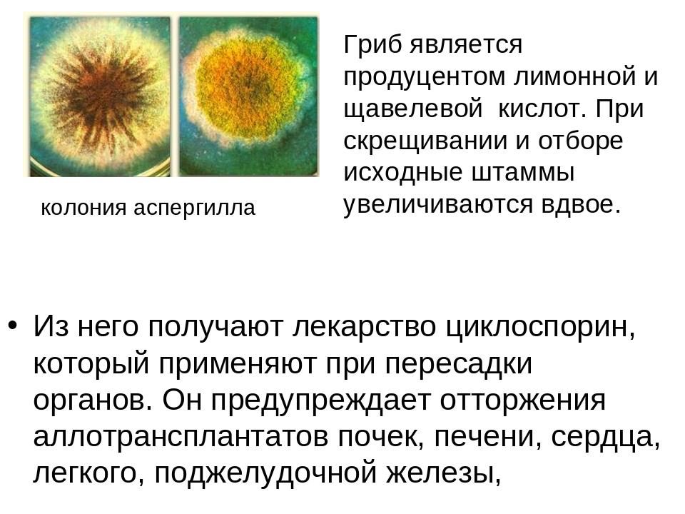 Из него получают лекарство циклоспорин, который применяют при пересадки орган...