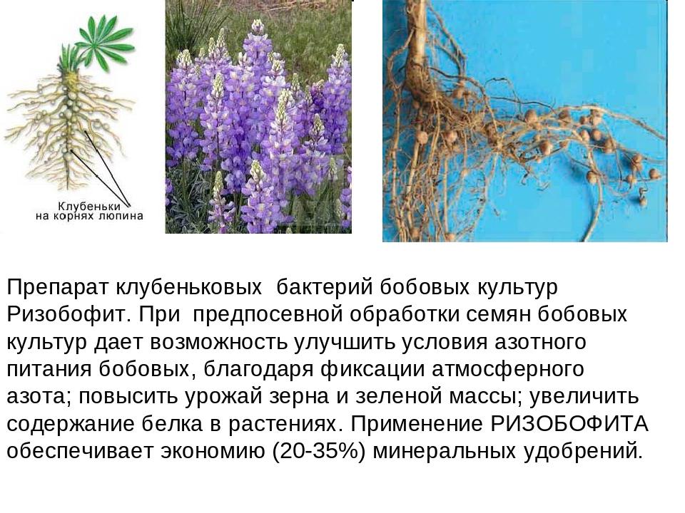 Препарат клубеньковых бактерий бобовых культур Ризобофит. При предпосевной об...