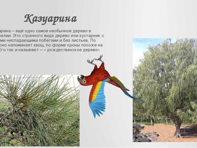Казуарина Казуарина – ещё одно самое необычное дерево в Австралии. Это странн...