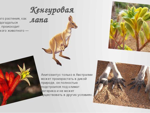 Кенгуровая лапа Название этого растения, как можно было догадаться поназвани...