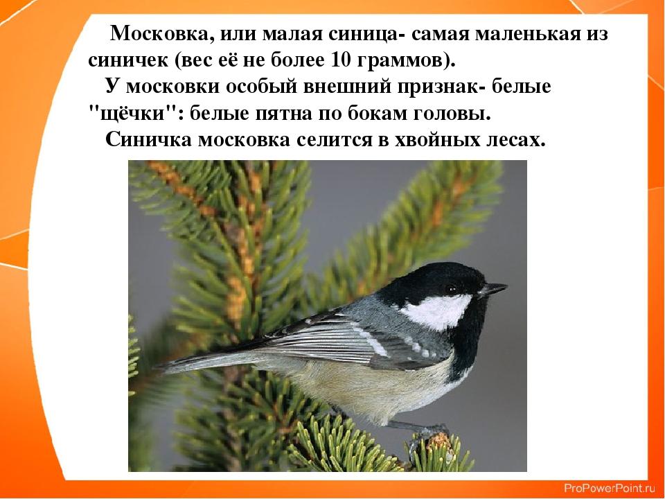 Московка, или малая синица- самая маленькая из синичек (вес её не более 10 г...