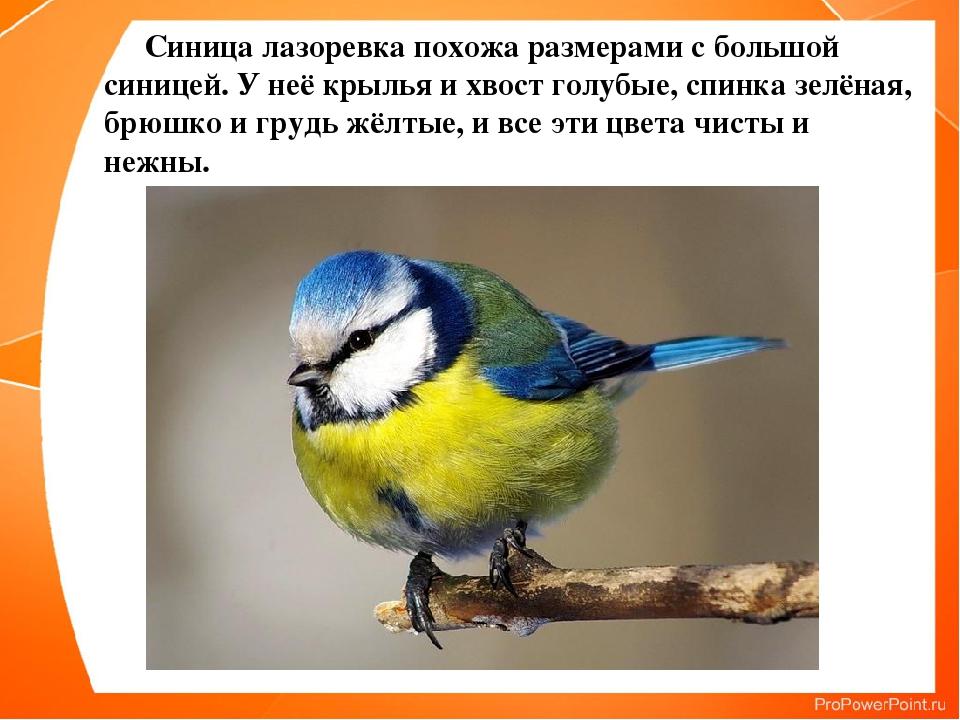 Синица лазоревка похожа размерами с большой синицей. У неё крылья и хвост го...