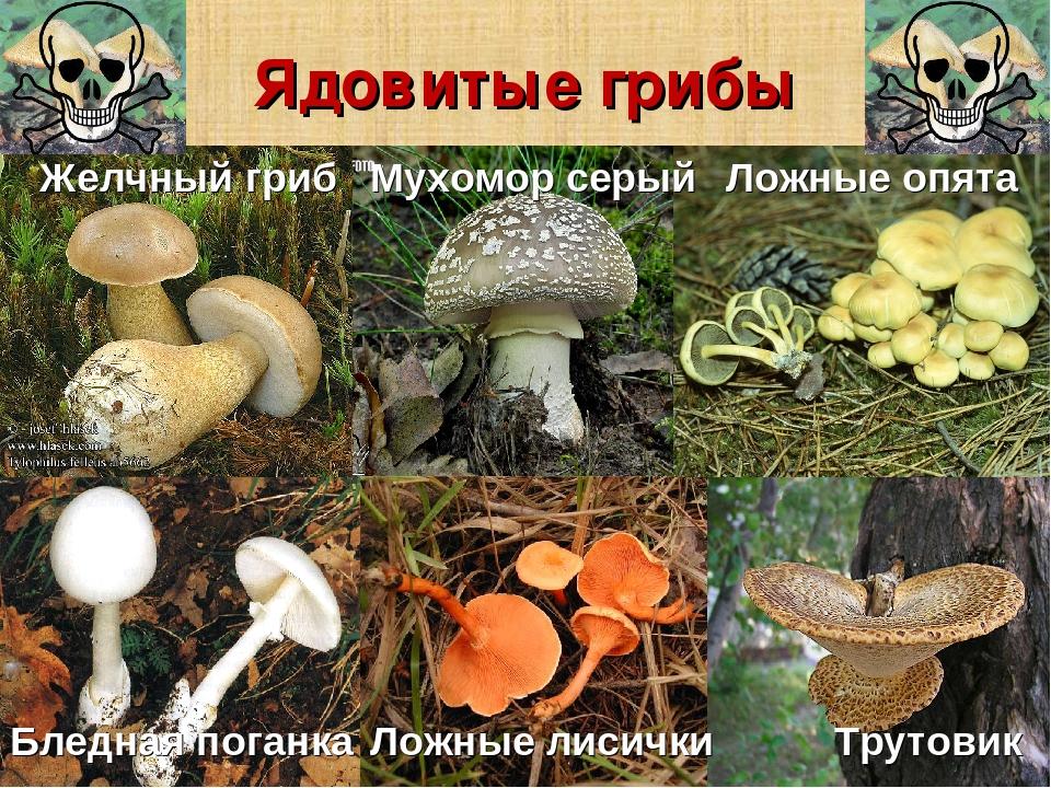 отец был ядовитые грибы фото и описание кратко фотообои крепостями