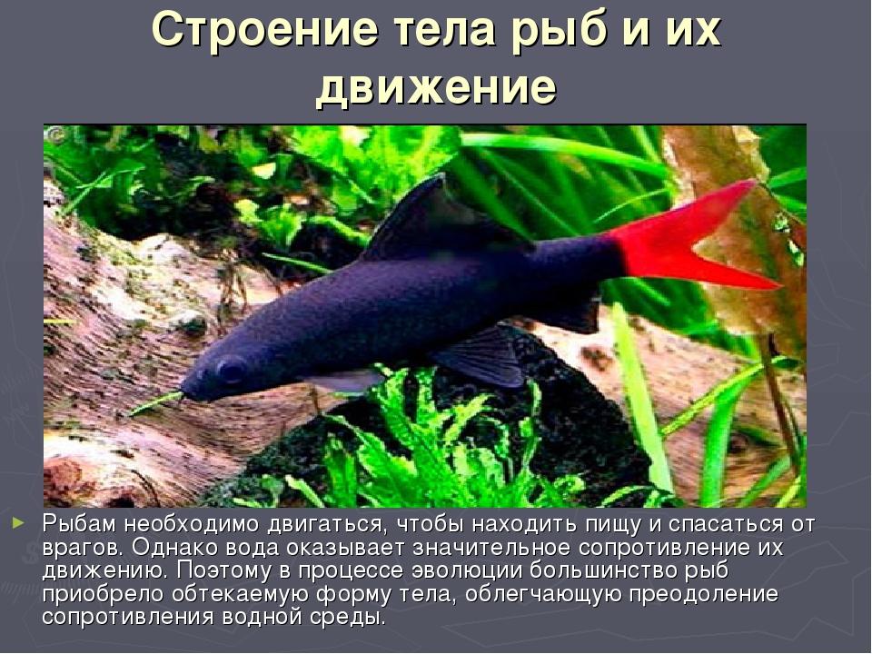 Строение тела рыб и их движение Рыбам необходимо двигаться, чтобы находить пи...