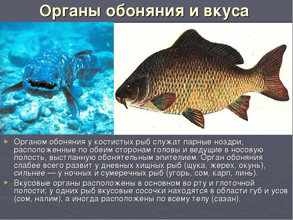 Органы обоняния и вкуса Органом обоняния у костистых рыб служат парные ноздри...