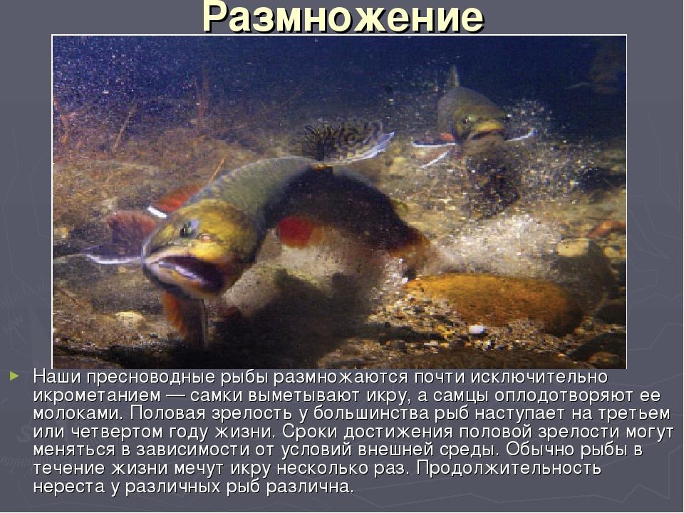 Размножение Наши пресноводные рыбы размножаются почти исключительно икрометан...