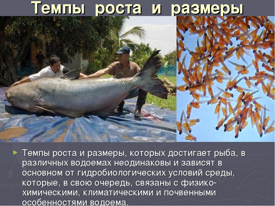 Темпы роста и размеры Темпы роста и размеры, которых достигает рыба, в раз...