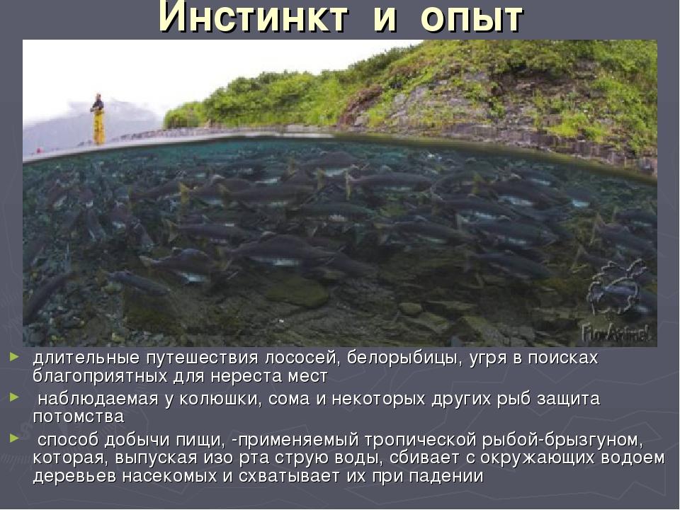 Инстинкт и опыт длительные путешествия лососей, белорыбицы, угря в поисках...