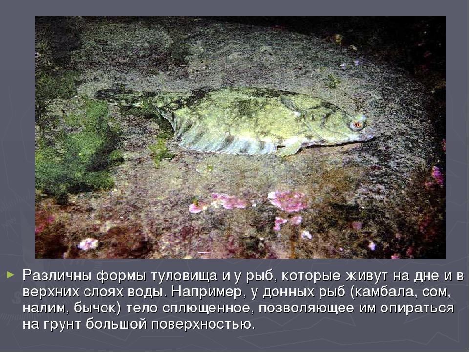 Различны формы туловища и у рыб, которые живут на дне и в верхних слоях воды....