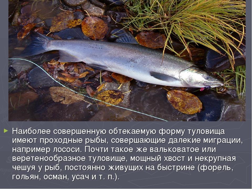 Наиболее совершенную обтекаемую форму туловища имеют проходные рыбы, совершаю...