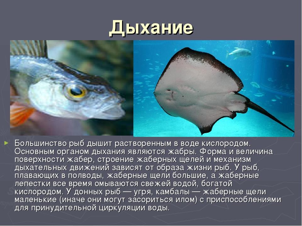 Дыхание Большинство рыб дышит растворенным в воде кислородом. Основным органо...