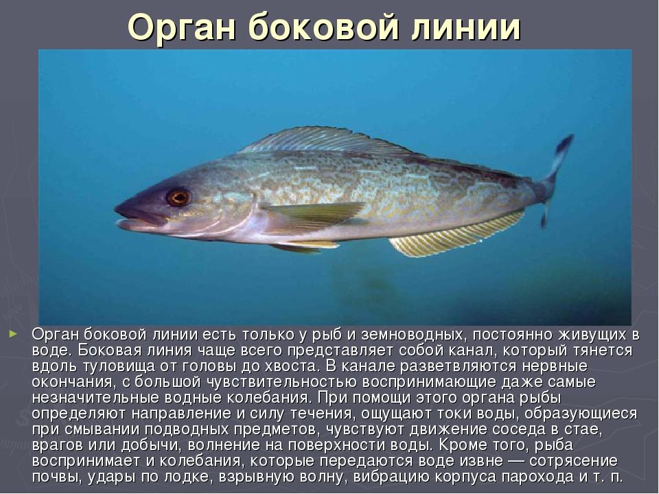 Орган боковой линии Орган боковой линии есть только у рыб и земноводных, пост...