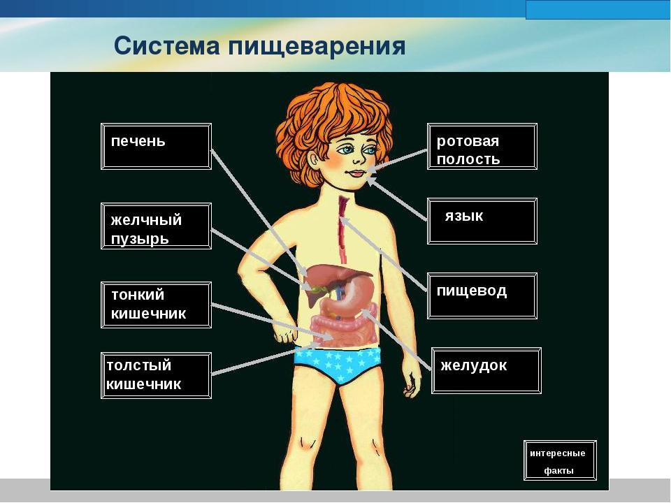 Пищеварительная система в картинках для детей