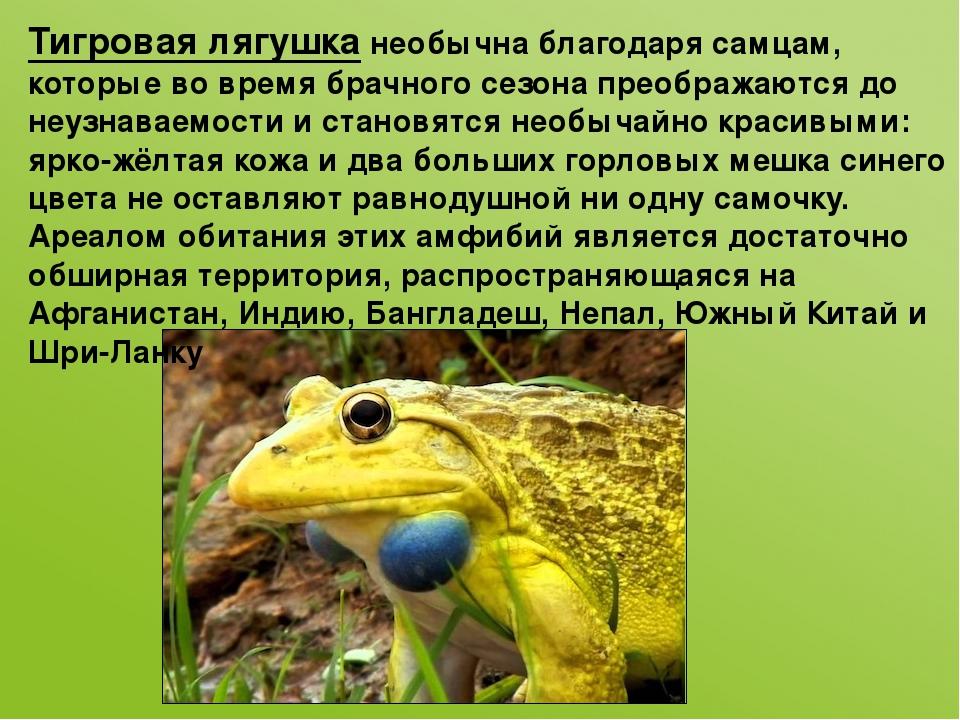 Тигровая лягушканеобычна благодаря самцам, которые во время брачного сезона...