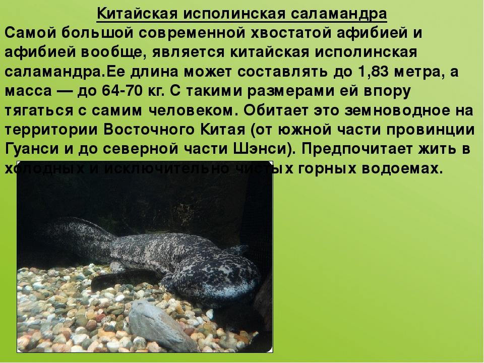 Китайская исполинская саламандра Самой большой современной хвостатой афибией...