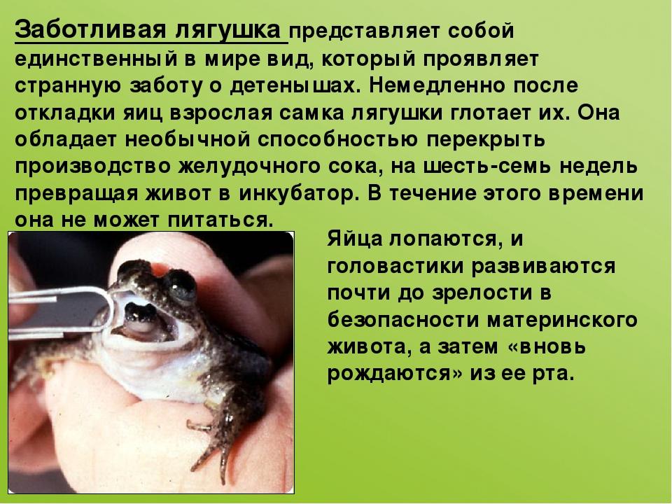 Заботливая лягушка представляет собой единственный в мире вид, который проявл...