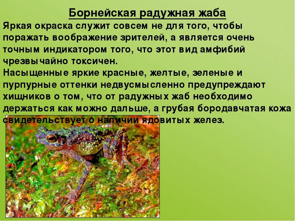 Борнейская радужная жаба Яркая окраска служит совсем не для того, чтобы пораж...