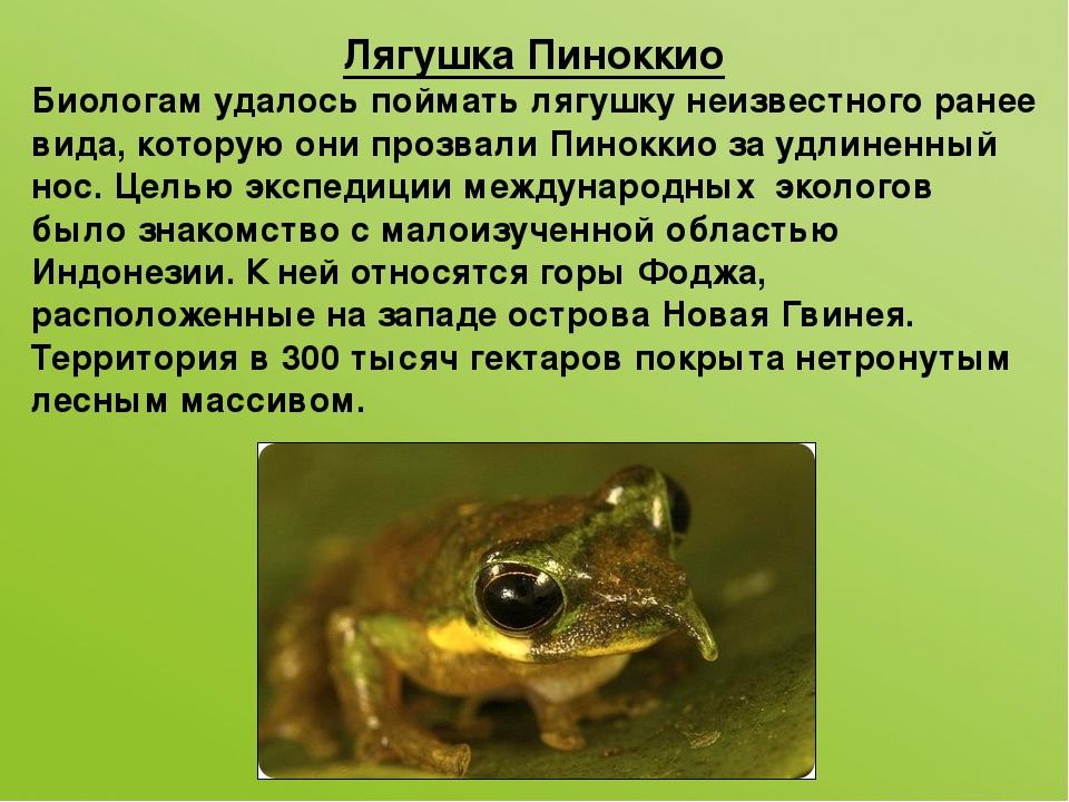 Лягушка Пиноккио Биологам удалось поймать лягушку неизвестного ранее вида, ко...