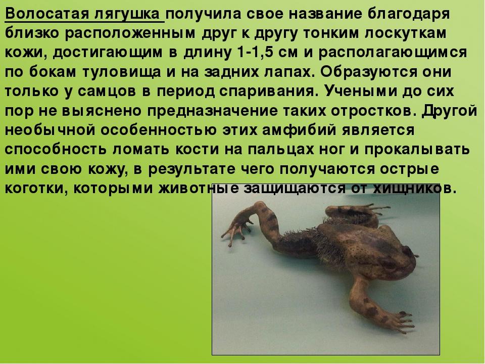Волосатая лягушка получила свое название благодаря близко расположенным друг...