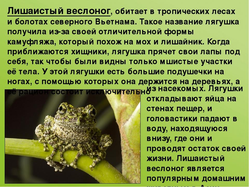 Лишаистый веслоног, обитает в тропических лесах и болотах северного Вьетнама....