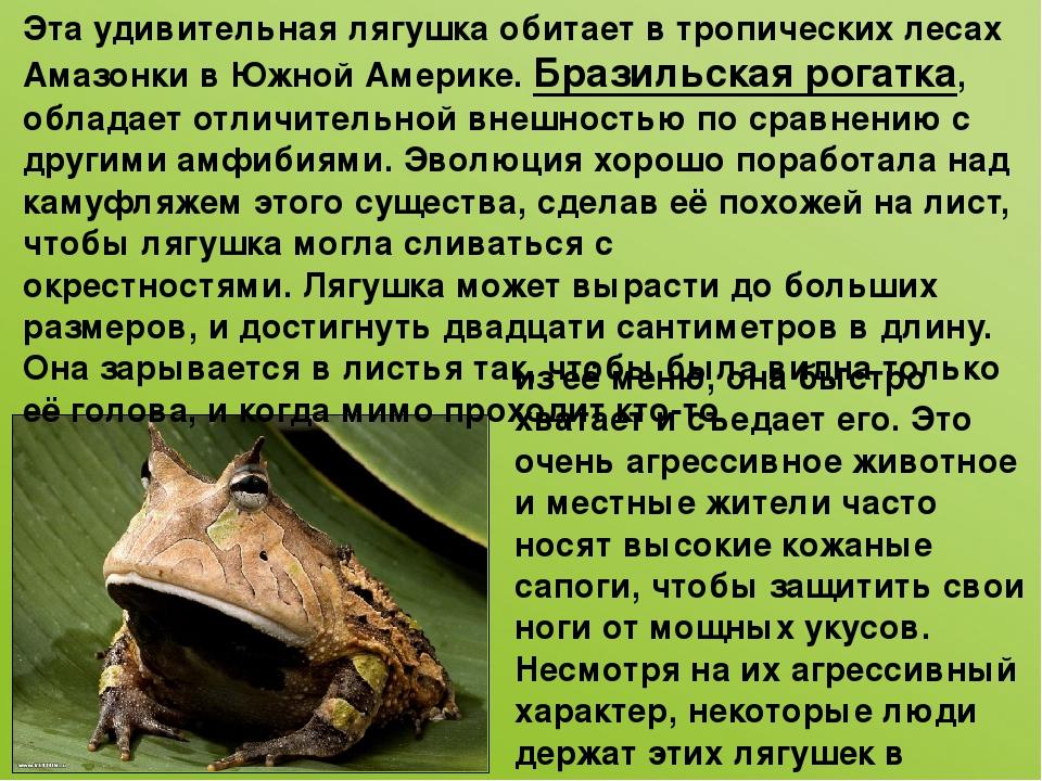 Эта удивительная лягушка обитает в тропических лесах Амазонки в Южной Америке...