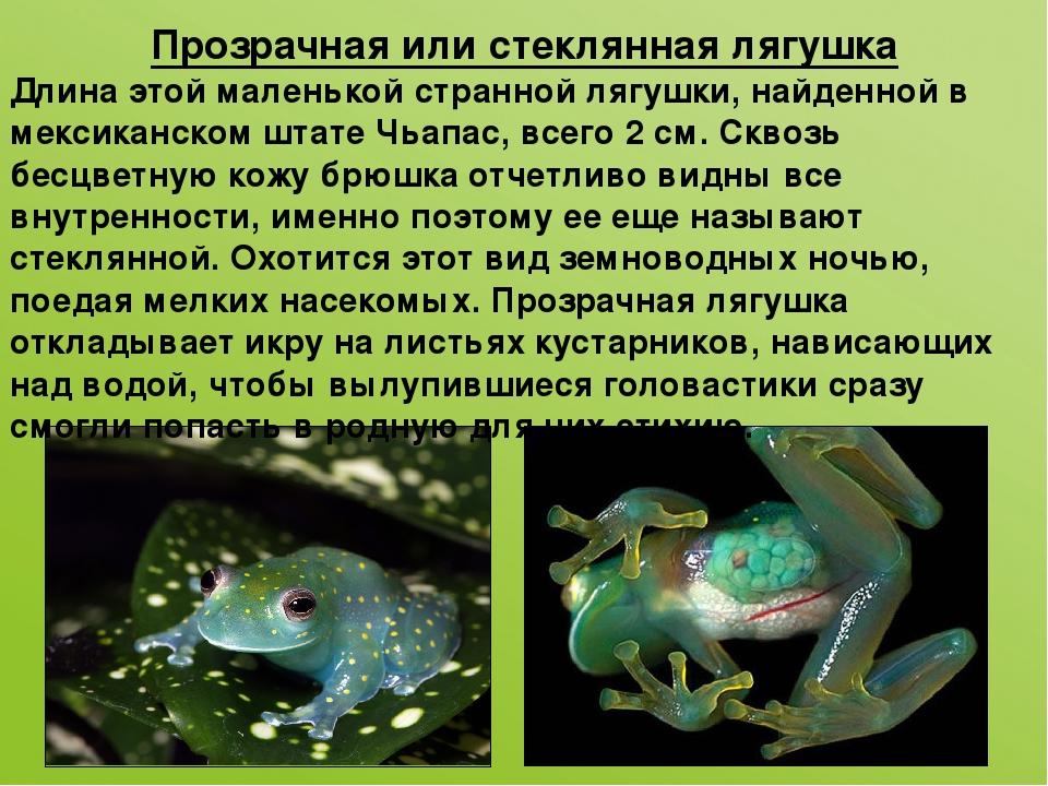 Прозрачная или стеклянная лягушка Длина этой маленькой странной лягушки, найд...